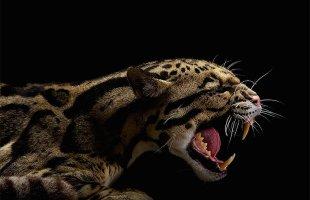 Yakın çekim 'Vahşi Kediler'
