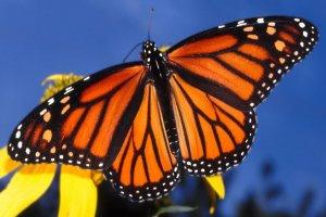Larvadan Kelebeğe : Monark