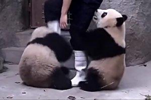 Bir pandaya ilaç içirmek ne kadar zor olabilir ki?
